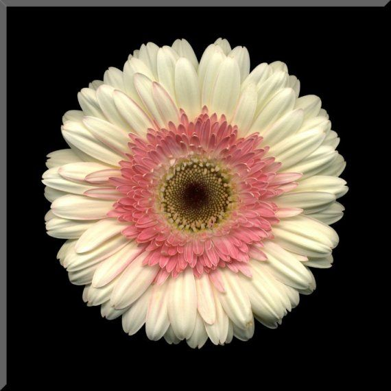 Gerbera Flower Bengali Meaning 8x8 White And Pink Gerbera Daisy Wall Plaque By