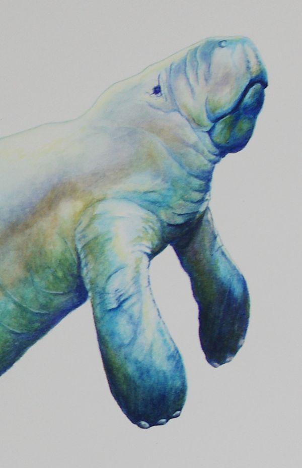 Cute Mermaids Wallpaper Manatee Watercolor Google Search Rebellion Pinterest