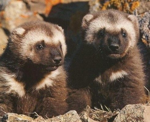 25 best ideas about wolverine animal on pinterest what
