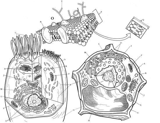eukaryote animal cell encyclopedia britannica