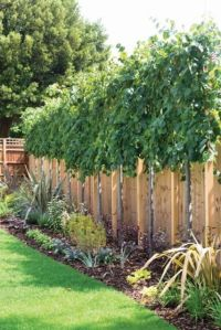 Best 20+ Privacy Trees ideas on Pinterest | Privacy ...