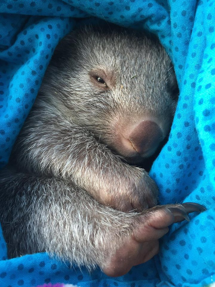 Cute Baby Face Wallpaper 17 Best Images About Tasmanian Wombat On Pinterest Wild