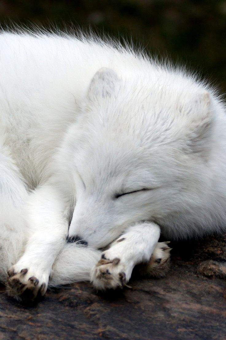 Lovely Baby Girl Wallpapers 1000 Ideas About White Fox On Pinterest Foxes Lynx And