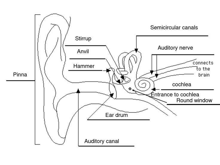 label ear diagram