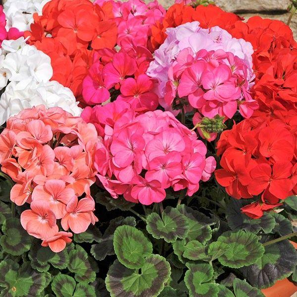 Geranium Maverick Mixed Colours 6 Must Have Plants