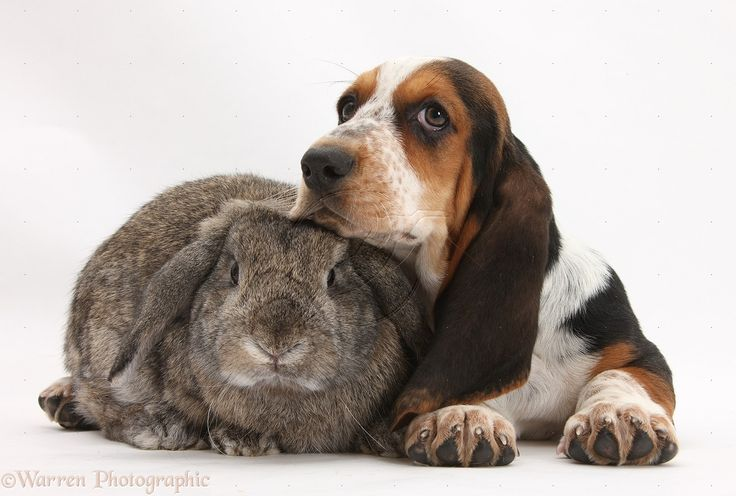 Cute Wallpapers Of Kittens And Puppies Basset Hound Puppy With Rabbit Basset Hound Love