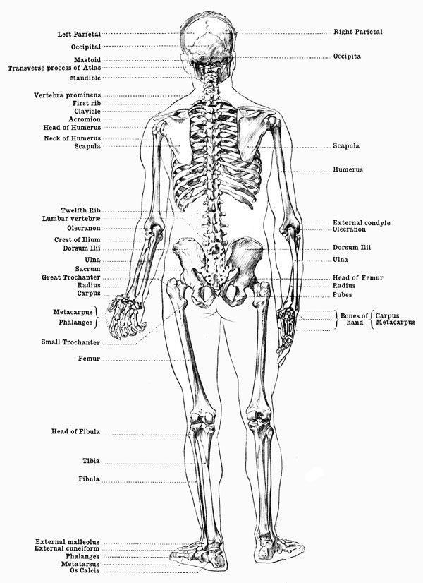 diagram of male skeleton