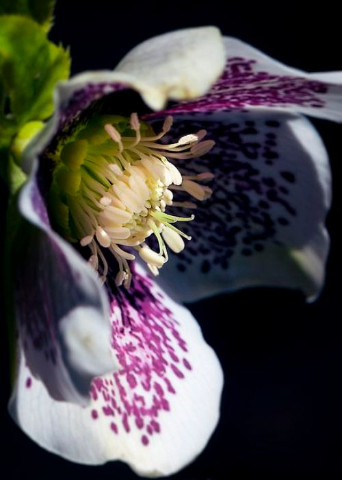 spotted hellebore