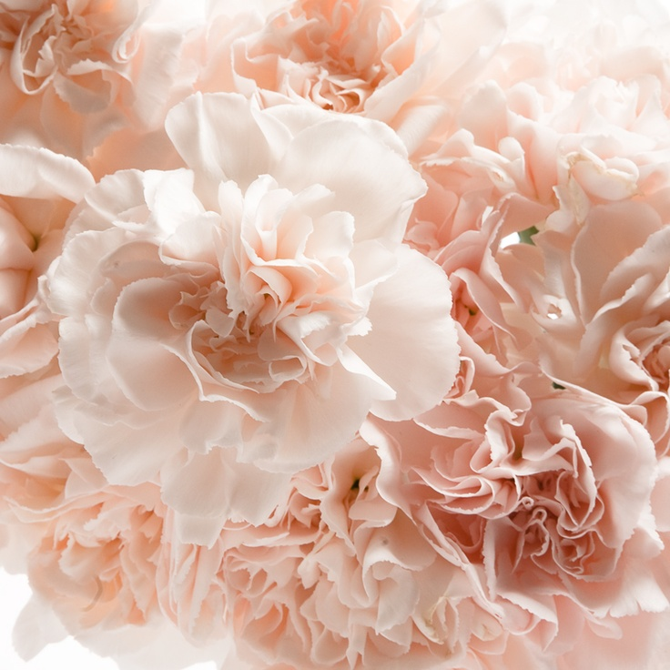 Carnation Flower Corsage Lizzy Carnations (peach) Blush | Petals ♡ Flowers