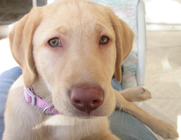 Image For Golden Retriever Adoption