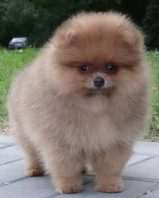 Baby Chicco Dog 17 Best Images About Pomeranians On Pinterest Cutest