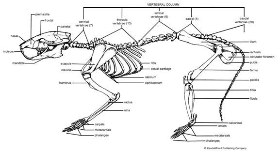 rat dissection diagram for pinterest