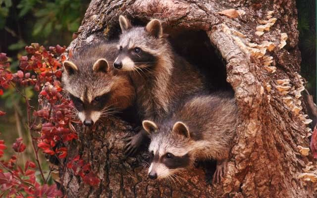 Fall Owl Wallpapers 144 Best Images About Squirrels Hedgehogs Raccoons
