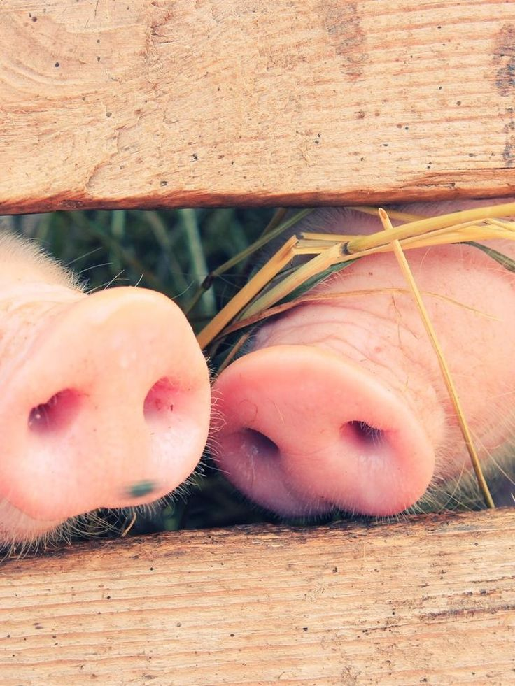 Cute Bff Wallpapers 163 Best Images About I Love Pigs On Pinterest