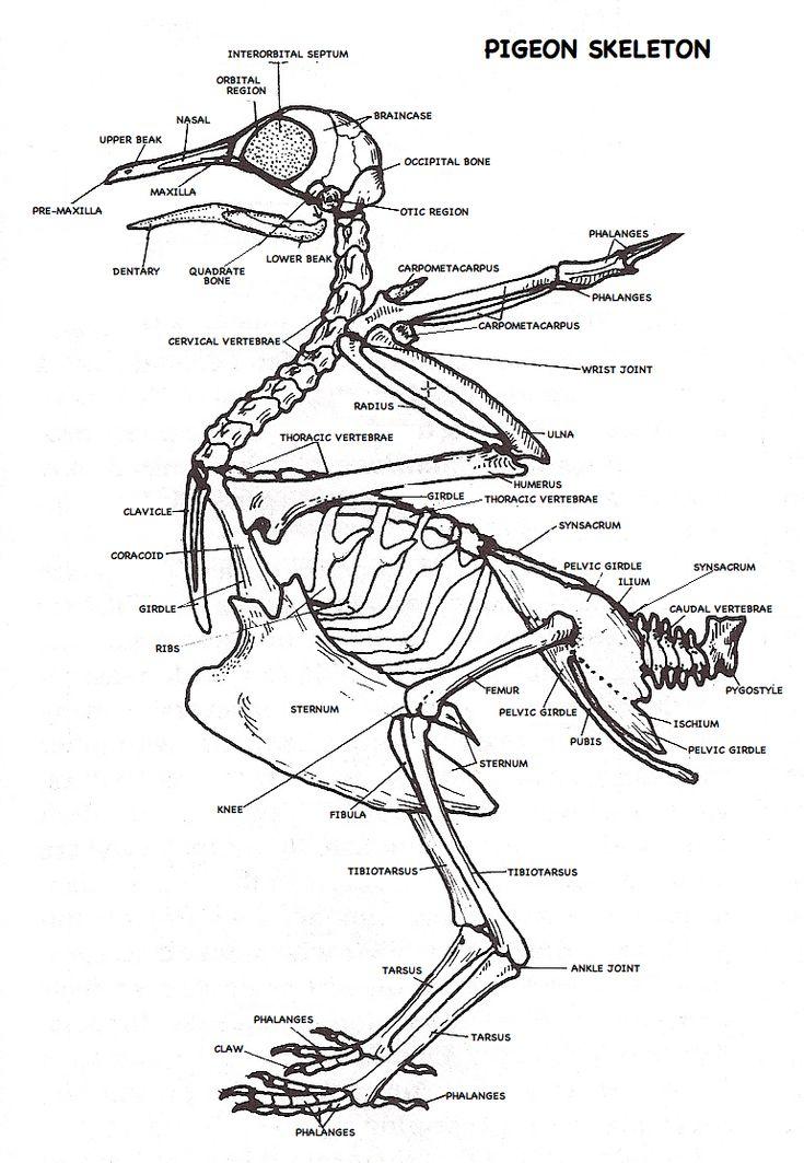 skeleton diagram drawing