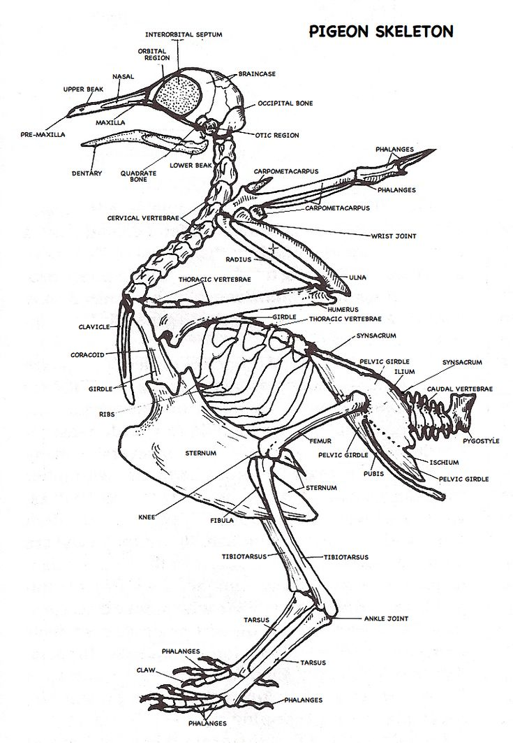 pigeon skeleton diagram
