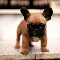 1000+ ideas about Teacup French Bulldogs on Pinterest ...