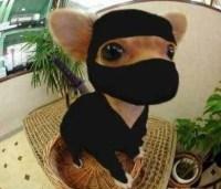 Cute idea Halloween costume for teacup chihuahua.   Cute ...