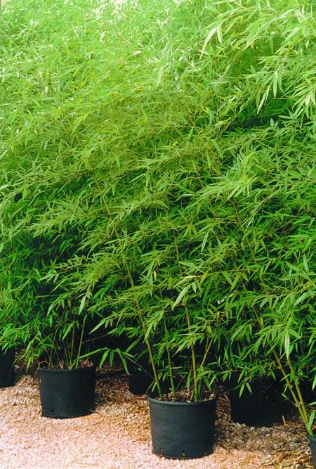 Plantas Para Macetas Exterior Resistentes 25+ Best Ideas About Dwarf Bamboo On Pinterest | Nandina