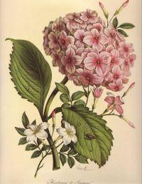 Vintage Botanical Print   www.imgkid.com - The Image Kid ...
