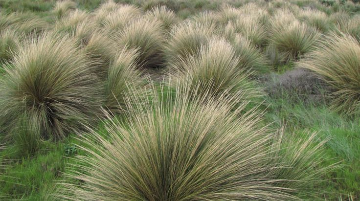 poa poiformis coast tussock grass australian native plants