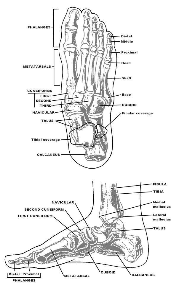 foot bones chart