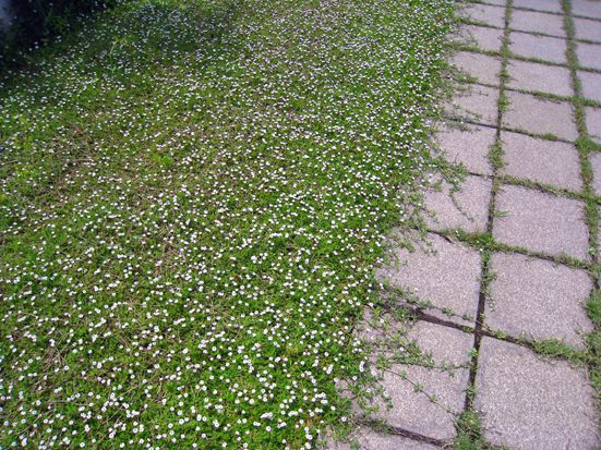 Drought Resistant Garden Ideas Drought Resistant Ground Cover - Lippia Phyla Nodiflora