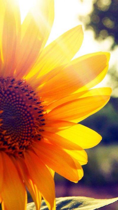 25+ best ideas about Sunflower wallpaper on Pinterest | Sunflower fields, Twitter backgrounds ...