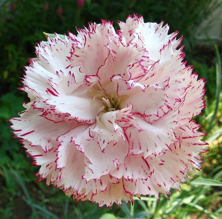 Carnation Flower Plant Full Size Picture Of Carnation ( Dianthus Caryophyllus