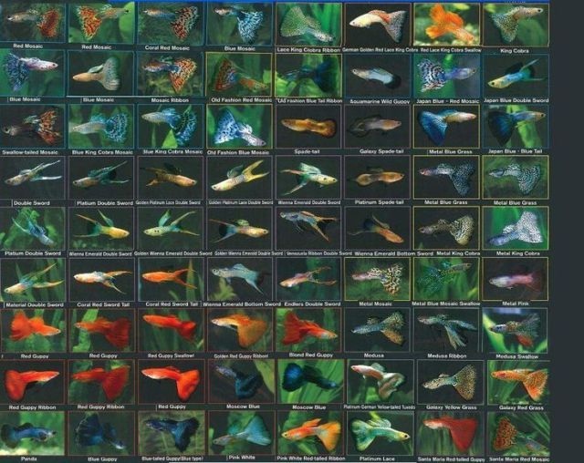 Guppy fish varieties all about betta fish 2017 fish for Water temperature for betta fish tank