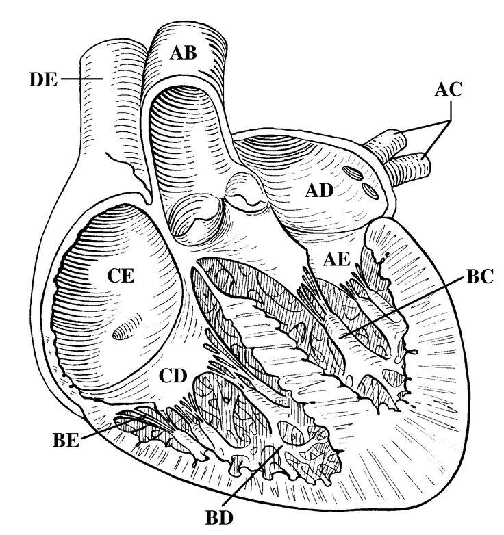 blank heart diagram 112 blank heart diagram