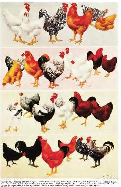 1000+ Ideas About Breeds Of Chickens On Pinterest | Frizzle