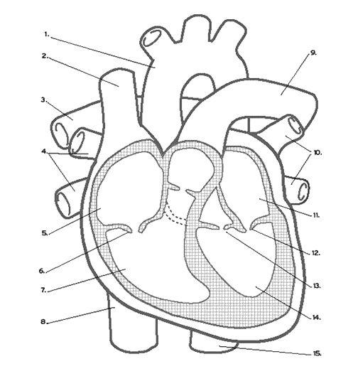 heart inside body diagram unlabeled