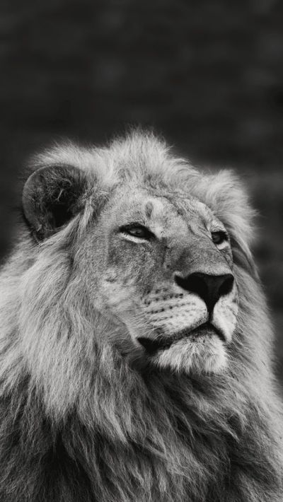 Lion. Collection of Wild Life Animals Wallpapers for iPhone. #wildlife #animals | iPhone 7 ...