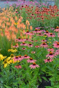 105 best images about Echinacea on Pinterest | Gardens ...