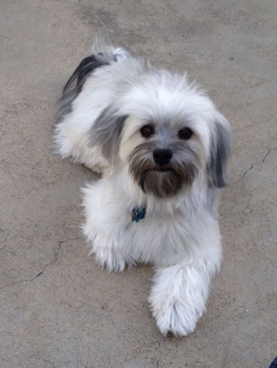 25+ best ideas about Havanese grooming on Pinterest | Havanese puppies, Cockapoo puppies and The ...
