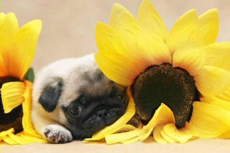 Cute Sunflower Wallpaper Sunflower Amp Pug Pugs Pinterest Pug And Sunflowers