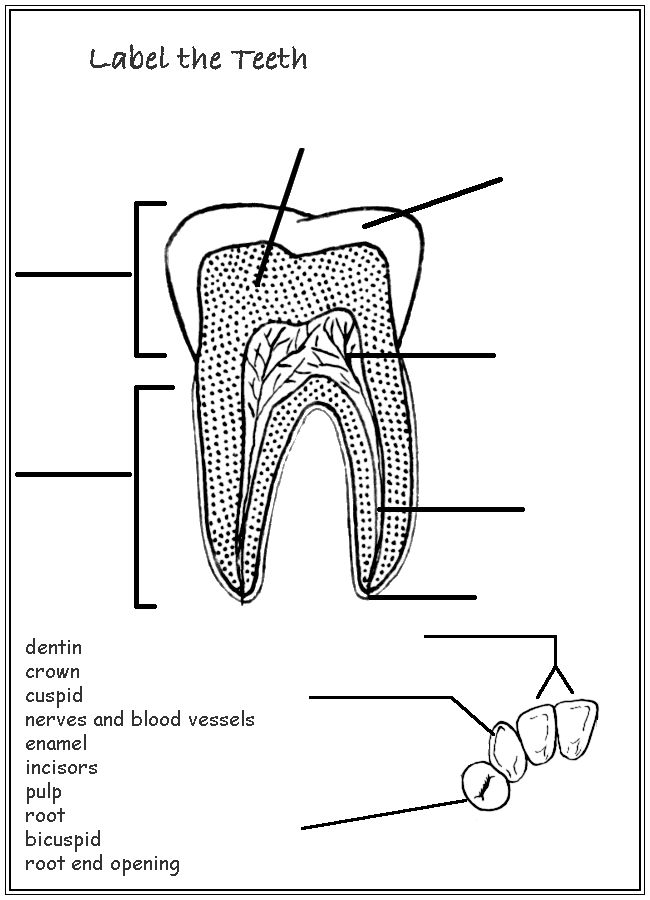 tooth layers diagram