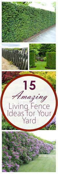 25+ Best Ideas about Shrubs For Privacy on Pinterest ...