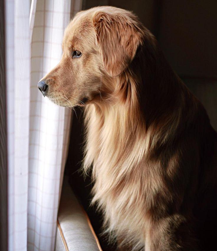Cute Shih Tzu Puppies Wallpaper Golden Retriever Petsync