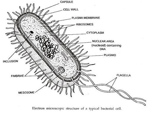 prokaryotic cell diagram