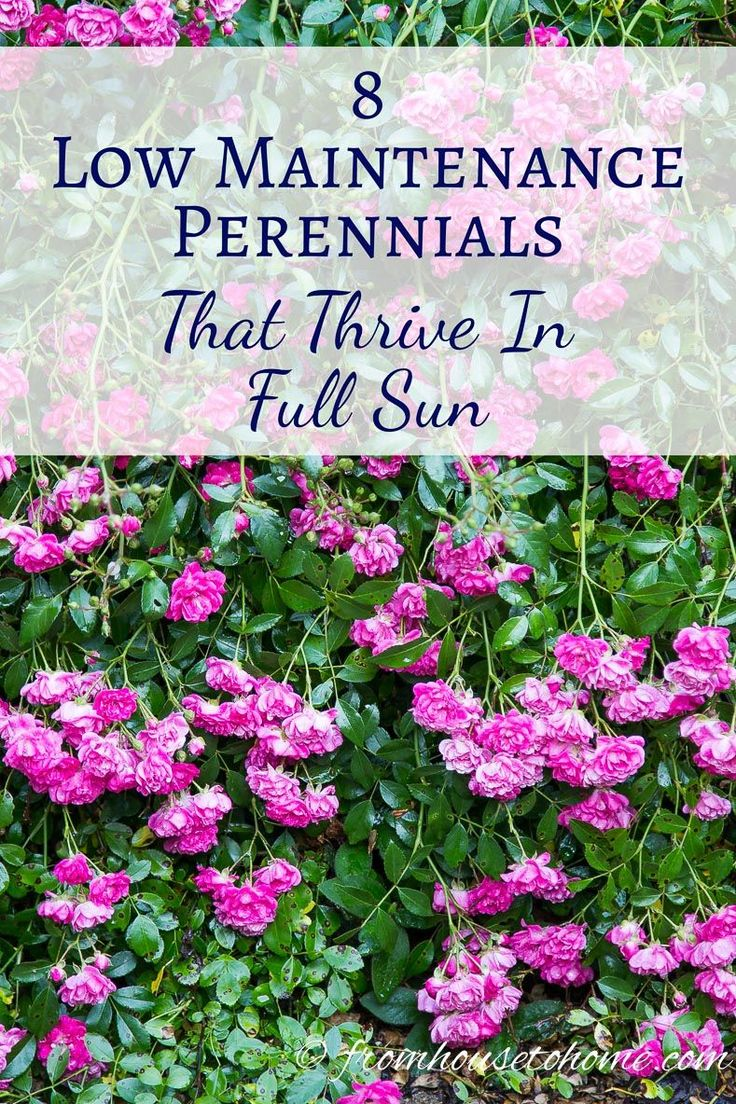 Full sun perennials 8 low maintenance plants that thrive in the sun