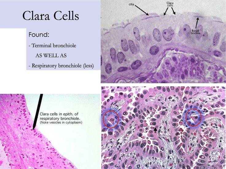 trachea histology