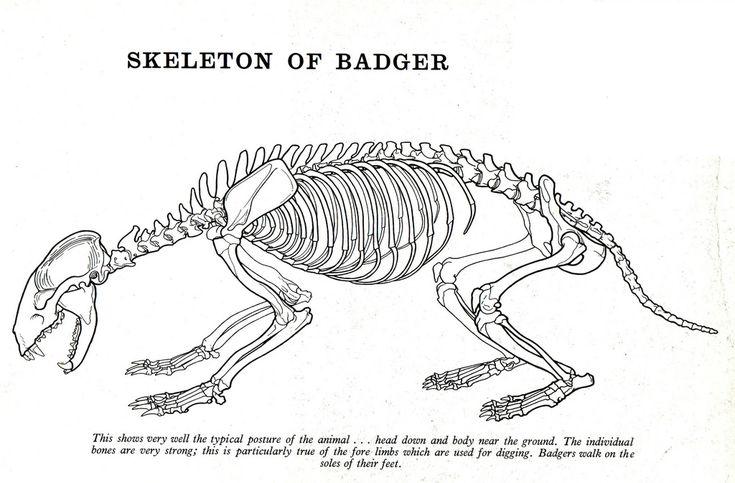 squirrel skeleton diagram squirrel skeleton diagram google search