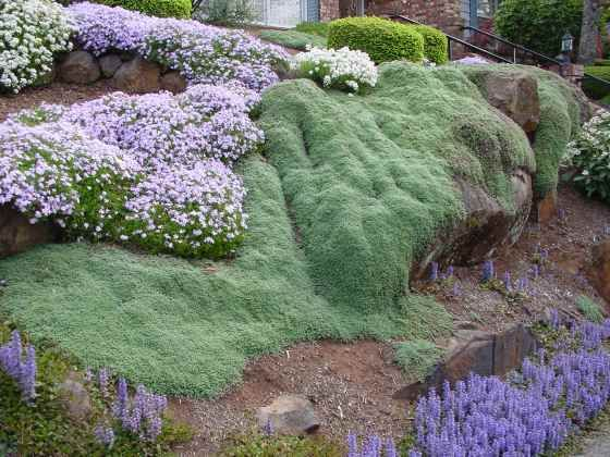Thymian Pflege Wooly Thyme (edible Creeping Ground-cover) | Yard And