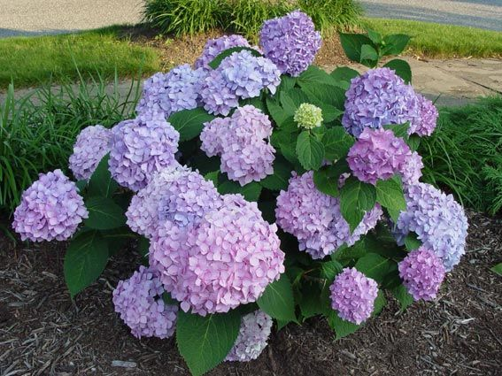 Hydrangea Didn't Flower This Year 1000+ Images About Backyard Garden On Pinterest | Virginia