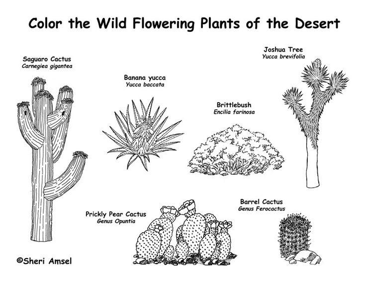 diagram of saguaro cactus
