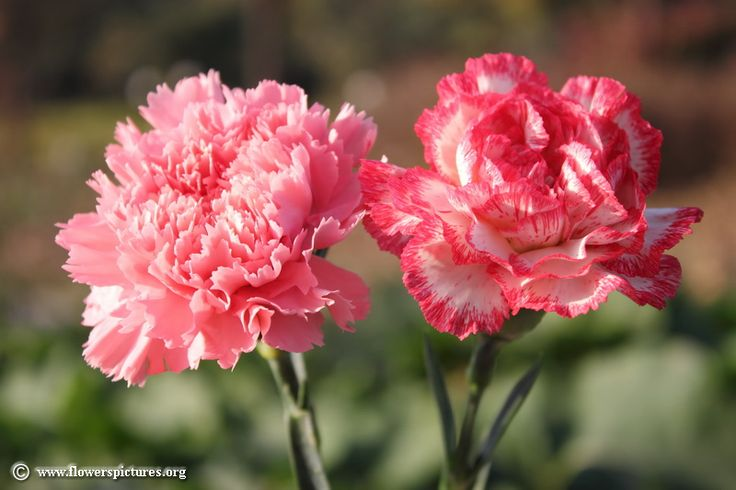 Carnation Flower Significance Carnation Images | Carnation Flower Picture (43) | Like