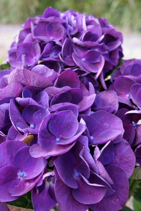Dark Purple Hydrangea 1000+ Images About The Flowers On Pinterest | Bouquet