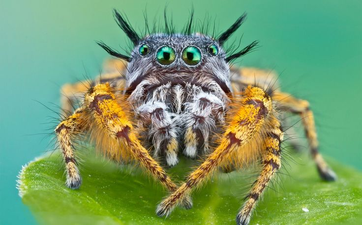 Cute Jumping Spider Wallpaper Looks Like A Wild Jungle Spider Cute Jumping Spiders